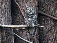 Great Gray Owl, Strix nebulosa (bruce_aird) Tags: