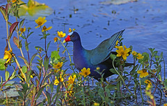 a walk in the buds (Dianne M.) Tags: purplegallinule nature lake flowers outside wings water yellow blue leegsburg flower