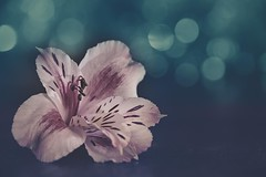 Pink petals (RoCafe on/off) Tags: stilllife flower macro pink blue light bokeh nikkormicro105f28 nikond600