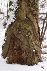 Swirly tree (Salamanderdance) Tags: healing tree swirly bark burl deciduos plant