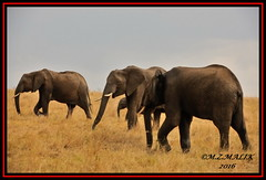 HERD OF AFRICAN ELEPHANTS WITH BABY CALF (Loxodonta africana)....MASAI MARA....SEPT 2016 (M Z Malik) Tags: nikon d3x 200400mm14afs kenya africa safari wildlife masaimara keekoroklodge exoticafricanwildlife elephants ngc npc