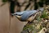 _F0A7581.jpg (Kico Lopez) Tags: galicia lugo miño sittaeuropaea spain trepadorazul aves birds rio