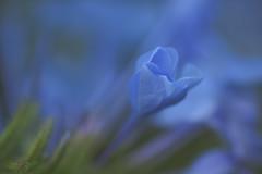 Plumbago Opening (S♡C) Tags: plumbago bud tamron blue bokeh outdoor flower plant