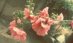Su Damlası Kehribar Hatmi (mehmetcok1) Tags: çiçek hatmi kehribar pembe yaz işık damla su yağmur
