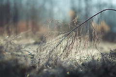 The fallen (Tammy Schild) Tags: frost cold winter field nature december plant grass ice morning
