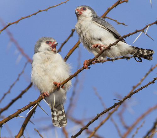 Pygmy Falcon pair , female soliciting for prey, _4809