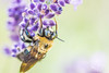 Bee on Lavender (CJ Luck) Tags: cj garden lavender pests plants yellow animal bee bugs cjluck closeup floral flower gardening gardenscape golden insect macro mauve natural nature plant purple