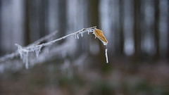 Season's ghost (Fabien Husslein) Tags: branche feuille leaf winter hiver frost frozen givre foret forest bois wood bokeh nature art