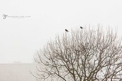 017/365 (shoot-it-now-Nadeen) Tags: fog nadeenflynnphotography repetition tree winter branches birds