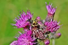 Bug (Hugo von Schreck) Tags: hugovonschreck outdoor flower wildflower blume wildblume käfer bug macro makro blüte canoneos5dsr tamron28300mmf3563divcpzda010
