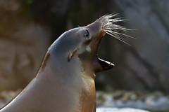 kalifornischer Seelöwe (Michael Döring - THX 4 11.111.111 Views) Tags: gelsenkirchen bismarck zoomerlebniswelt zoo kalifornischerseelöwe seal afs200500e d7200 michaeldöring