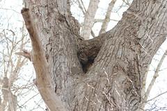 Great Horned Owl's nest site (plsmart) Tags: 201705 jan31 oceangrove great horned owl nest dncb