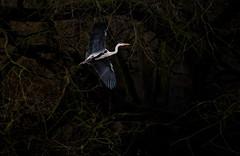'Early Bird' (Jonathan Casey) Tags: heron bird bif wollaton park nottingham trees nikon d810 200mm f2 v2