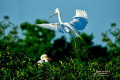 IS IT SPRING YET? (Aspenbreeze) Tags: spring egrets nestbuilding highislandtexas highisland texas wildbirds birds bird wings nest breedingbirds nature texaswildlife bevzuerlein aspenbreeze moonandbackphotography