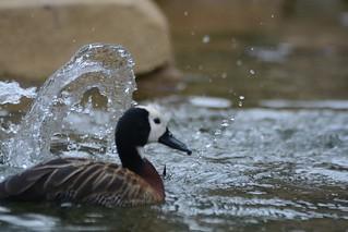 Witwenpfeifgans im Zoo Antwerpen