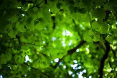 Lindentraum (Lebenskunst.) Tags: linde baum tree blätter wald laubbaum natur pressig kronach frankenwald