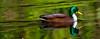 Brown on green (Steve-h) Tags: bushypark nature natural natur natura naturaleza aquaticbirdduckdrake hybrid mallard colour colours iridescence iridescent green brown chestnut reflections digital exposure ef eos canon camera lens water pond lake park dublin ireland europe steveh spring april 2016