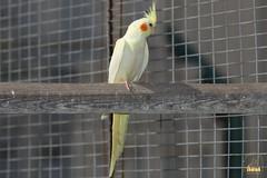 21. Cockatiel / Попугай Корелла