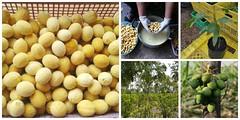 การปลูกผักหวานป่า ตอนที่ 1: การเพาะเมล็ดผักหวานป่า