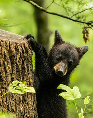 Hanging around in the Great Smoky Mountains (Bruce Wunderlich) Tags: bear black tree cub cove great smoky mountians cades