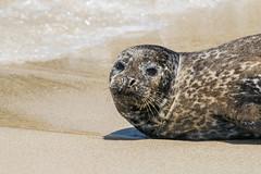 Goin' for a swim (brandoncozart) Tags: california beach animals unitedstates lajolla seals