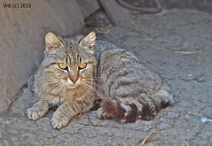 DSC_0025 vgott jav wb (bwagnerfoto) Tags: wild nature animal cat mammal mix felis wildkatze silvestris vadmacska