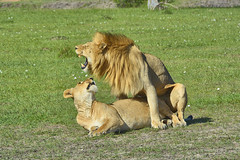 Leones orgásmicos (Porschista) Tags: africa kenya lion safari león kenia orgasmo leones masaimara leona lleo lleona apareamiento valledelrift