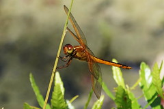 The Golden-winged Skimmer (Jim Atkins Sr) Tags: macro insect landscape nc dragonfly outdoor northcarolina depthoffield skimmer cravencounty goldenwingedskimmer fairfieldharbour