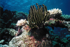 black feather star (KENO Photography) Tags: ocean life travel sea fish seascape black color nature water ecology yellow coral landscape island star marine scenery underwater natural pacific outdoor wildlife scenic feather conservation diversity competition scuba diving snorkeling environment cookislands rarotonga reef exploration habitat biology ecosystem featherstar crinoid