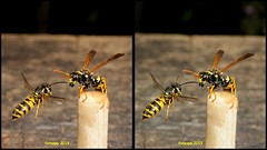 Franse en duitse wesp L40_2320_3d (fotoopa) Tags: macro inflight 3d insects laser highspeed flyinginsects highspeedflash 3dphotography vliegende insectsinflight vliegend 3dmacro highspeedcapture picturesinflight highspeedmacro af10528dmicro fotoopa inflightinsects lasercontrol lasertriggered vliegendeinsecten laserdetection 3dinsects 3dinflight lasercamera flyinghighspeedinsects highspeedlaserdetector irlaserdetection multiplelaserdetection insectenfotografie vliegendebeestjes fotosvliegendeinsecten picturesinflightinsects