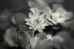water lily (irina_escoffery) Tags:
