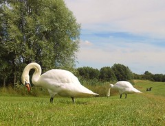 Swan out of water (Dun.can) Tags: summer swan leicestershire muteswan melton meltoncountrypark