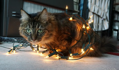 This is the closest to a christmas tree i will go (Red Cathedral has left Osaka) Tags: sony a6000 cosplay eventcoverage sonyalpha mirrorless alpha cat chat pussy kat noel weinachten kerstmis christmas xmas lights animal christmastree entangled silly catsoncatnip