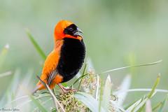 Southern Red Bishop (Euplectes orix) (Brendon White) Tags: southernredbishop euplectesorix bird nature wildlife nikon d7100 waltersisulunationalbotanicalgardens wsnbg gauteng southafrica