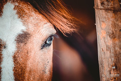 _DSC0842version2 (sky ross) Tags: horse caballo humor look eye animal life