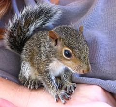 Time for his close-up (TheEclecticArtisan) Tags: squirrel babysquirrel hammy rodent pet rescue cute furry babyanimal animal wildlife wild