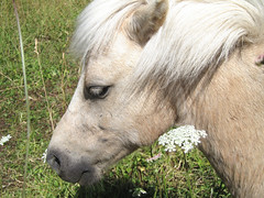 'Paddy' in the Wild Flowers (Mary Faith.) Tags: pony portrait wild flowers horse animal equine whit pet