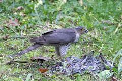 Sparrowhawk ..... Dinner for one.... (johnmorris13) Tags: dinnerforone accipiternisus birdofprey hawk sparrowhawk