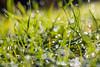 Morning dew (sandrotariba) Tags: morningdew dew autumn velilošinj