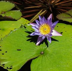 Water Lily (idunbarreid) Tags: waterlily canon5dmk111