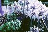 Nikon FA, Lomo Purple (film cameras coffee root beer) Tags: nikonfa nikon sanfrancisco lomo lomography purple foresthill