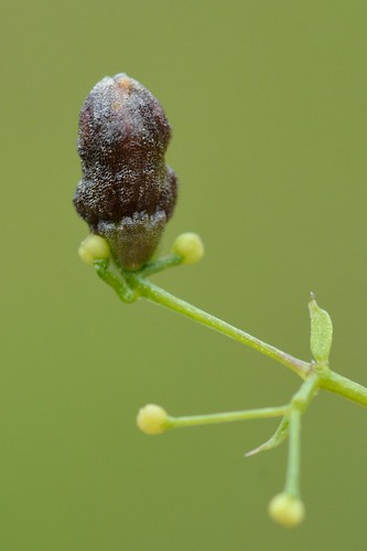 Schizomyia galiorum on Galium verum