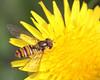 Episyrphus balteatus (5) (saracenovero) Tags: episyrphusbalteatus syrphidae diptera flies fliesoflithuania mazeikiai 2016