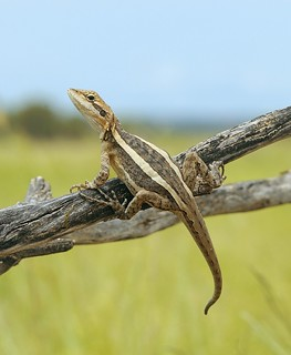 Dragon (Amphibolurus sp.)_Bladensburg National Park, Queensland, Australia