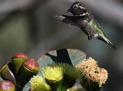 Anna's Hummingbirds (larryvenus) Tags: hummingbird hummingbirds annashummingbirds ucsantacruz ucsantacruzarboretum montereyhummingbirds santacruzhummingbirds nikon nikonphotography nikond500 tamron tamron150600mmg2