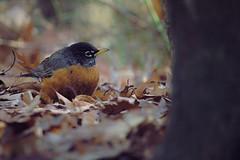Last Year's Leaves (sphaisell) Tags: americanrobin winter birds wildlife newyork manhattan riversidepark riverside