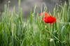 Amapola en campo de trigo (Antonio Lomba) Tags: amapola papoula trigo flor