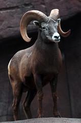 Barbarysheep, tedal burgerszoo JN6A0944 (j.a.kok) Tags: schaap dikhoornschaap sheep barbarysheep tedal mammal hoefdier bighornsheep burgerszoo burgerzoo herbivor zoogdier
