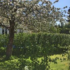 Epletreet i blomst (fotomormor) Tags: hønefoss tre epletre blomster hekk grønt