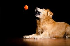 Catch Me If You Can (bztraining) Tags: dogchal odc zachary bzdogs bztraining golden retriever 3662017 117 7daysofshooting week27 abooktitle geometrysunday